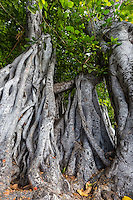 A banyan tree is a fig that starts life growing on another plant.  Its seeds germinate in cracks on a host tree.  The word banyan is occasionally used to include fig trees in general even the fruit bearing type.   Like other fig species,  banyans bear multiple fruit in pods. Banyan trees figure prominently in several Asian and Pacific religions and myths.