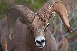Trophy Desert Bighorn Ram, Zion National Park