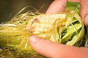 Virginia Moore is a graduate student of sweet corn under Bill Tracy at the University of Wisconsin, Madison. Her research involve pests that attack corn like this ear worm.