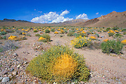 Toothed Dodder (Cuscuta denticulata) and Brittlebush (Encelia farinosa) under the Black Mountains, Death Valley National Park, California