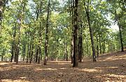 Sal Tree Forest, Shorea robusta, India, native species