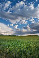 Wheat Fields, Snake River Plain SE Idaho