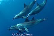 Atlantic spotted dolphins, Stenella frontalis, off Placencia, Belize, Central America ( Caribbean )