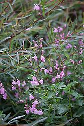 Salvia × jamensis 'Peter Vidgeon' with Salix purpurea 'Nancy Saunders' AGM (Purple Osier Willow)