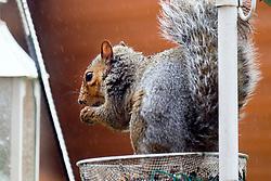 A Grey Squirrel (Scientific name Sciurus Carolinensison) Sits in the rain eating peanuts from Bird feeder in a British Suburban Garden<br /> <br />  Copyright Paul David Drabble<br />  29 September 2019<br />  www.pauldaviddrabble.co.uk