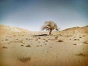 A Saxaul tree, a landmark in the Gobi desert<br /> <br /> Travels in the Gobi desert region.