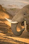Desert Elephant, The Kaokoveld Desert, Kaokoland, Northern Namibia, Southern Africa