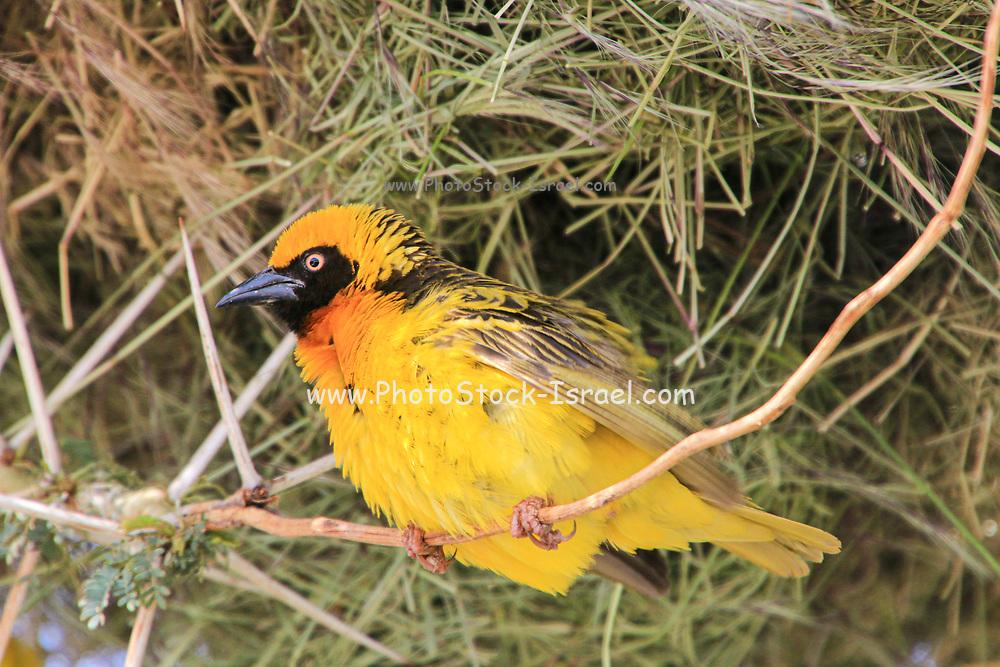 Vitelline Masked Weaver (Ploceus vitellinus), Kenya, Africa.