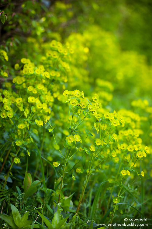 Wood Spurge growing in the shade at the  bottom of a hedgerow. Euphorbia amygdaloides