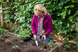 Planting out spring cabbages in a raised bed in autumn