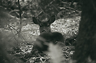 Black and white of deer reclining in woods - Point Defiance, Tacoma, WA