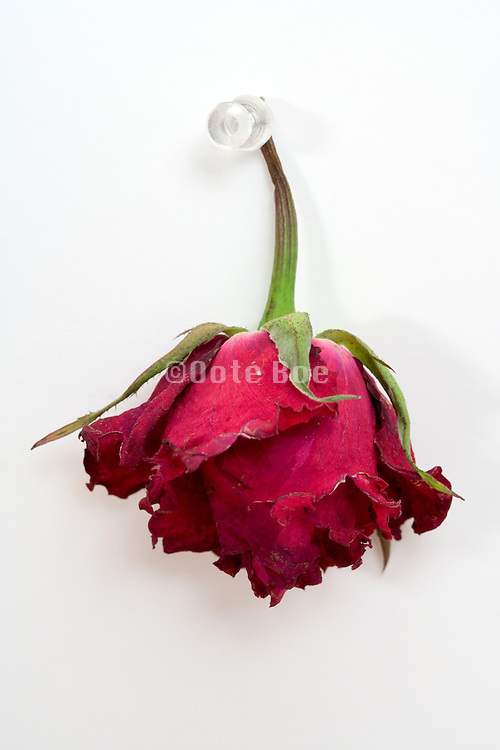 a dying red rose hanging from a pushpin to dry