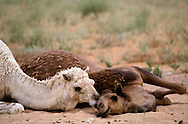 """Early in the morning, camel couples snuggle, cajole, and """"talk"""" to each other. Dahana Sands, Saudi Arabia"""
