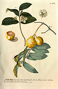 Coloured Copperplate engraving of a guava, Psidium guajava or Guaiaba. from hortus nitidissimus by Christoph Jakob Trew (Nuremberg 1750-1792)