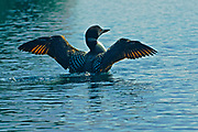 Common loon (Gavia immer) displaying on Killarney Lake<br />