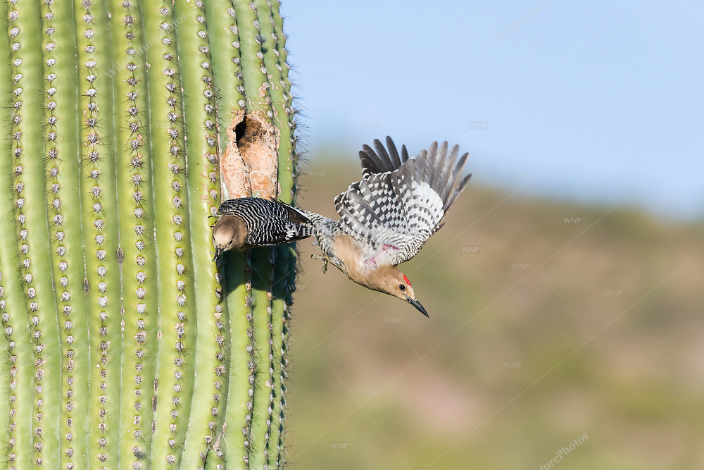 A male Gila Woodpecker (Melanerpes uropygialis) flies out of a nest in a Saguaro (Carnegiea gigantea), while the female brings food to the young. Ariz