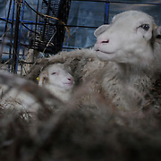 3/25/12 -- BRUNSWICK, Maine. Lamb Day at Crystal Spring Farm.  Photo by Roger S. Duncan.