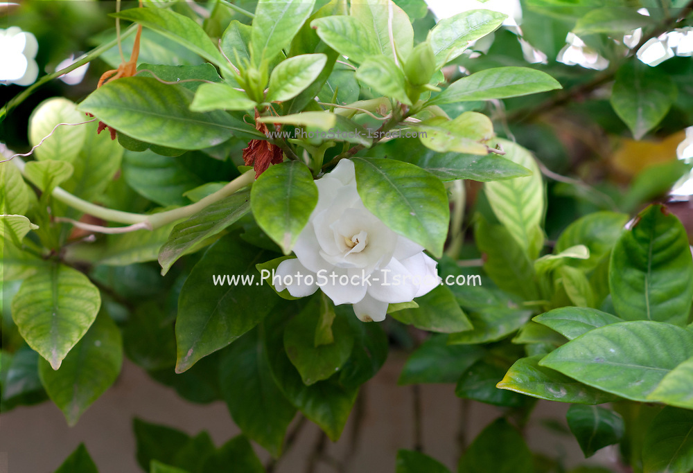 White flower of the Gardenia or Cape Jasmine plant (Gardenia jasminoides). An evergreen flowering plant of the coffee family Rubiaceae. It originated in Asia and is most commonly found growing wild in Vietnam,