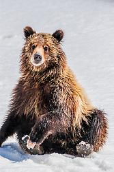 Sitting Grizzly Bear cub, Grand Teton National Park