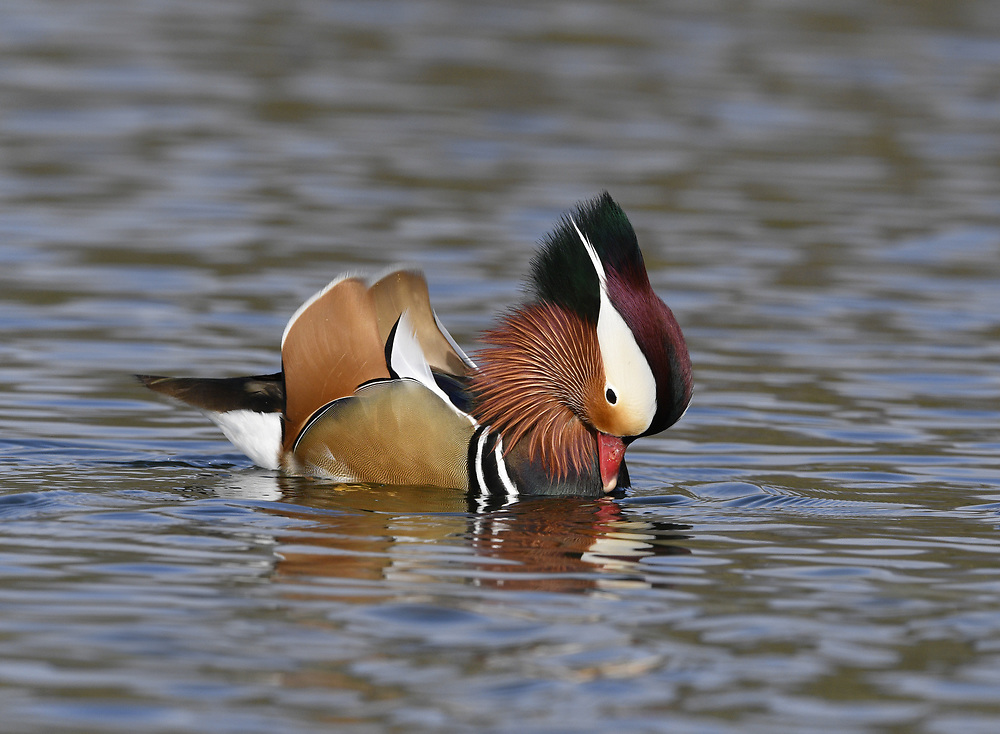 Mandarin Duck - Aix galericulata - displaying male