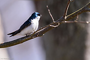 A tree swallow giving its high pitch song near a nest box along Wylie Slough in Skagit County, Washington.