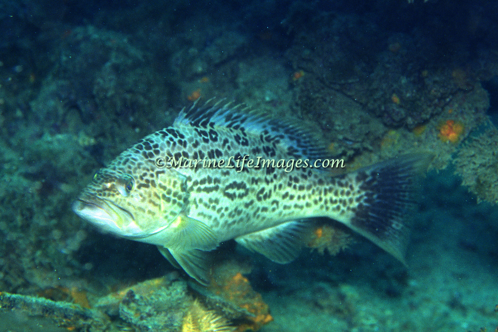 Scamp inhabit reefs in Florida, rare or absent Bahamas & Caribbean; picture taken Dry Tortugas, FL.