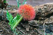Paintbrush lily (Scadoxus puniceus) from Zimanga, South Africa.