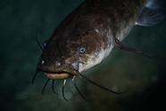 Ameiurus nebulosus (Brown bullhead catfish)