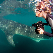 A snorkeler / underwater photographer swims alongside a whale shark (Rhincodon typus) off Isla Mujeres, Mexico.