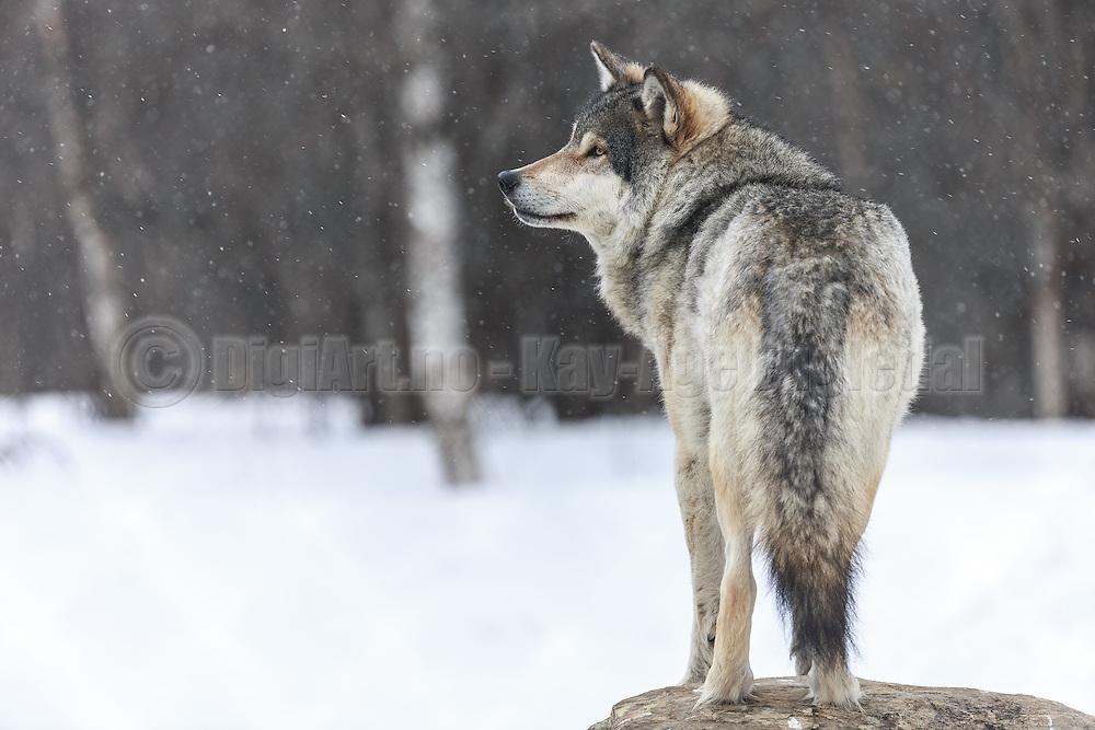 Wolf standing in the snow at Langedrag Wildlife park   Ulv som står i snøen på Langedrag Naturpark