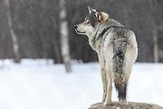 Wolf standing in the snow at Langedrag Wildlife park | Ulv som står i snøen på Langedrag Naturpark