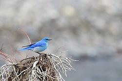 Mountain Bluebird, Yellowstone National Park