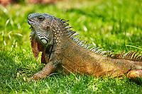 Iguanas of Seminario Park  landmark of Guayaquil  Ecuador in south america