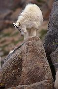 USA, Colorado, Mt. Evans, young Mountain Goat (Oreamnus americanus)