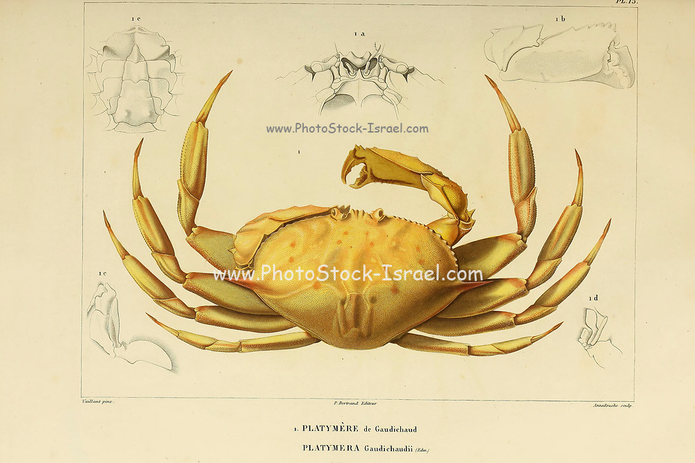Platymere [Platymera] crab Crustaceans (Crustacea) form a large, diverse arthropod taxon which includes such animals as crabs, lobsters, crayfish, shrimps, prawns, krill, woodlice, and barnacles hand coloured sketch From the book 'Voyage dans l'Amérique Méridionale' [Journey to South America: (Brazil, the eastern republic of Uruguay, the Argentine Republic, Patagonia, the republic of Chile, the republic of Bolivia, the republic of Peru), executed during the years 1826 - 1833] Volume 6 Part 1 (Crustacean). By: Orbigny, Alcide Dessalines d', d'Orbigny, 1802-1857; Montagne, Jean François Camille, 1784-1866; Martius, Karl Friedrich Philipp von, 1794-1868 Published Paris :Chez Pitois-Levrault. Publishes in Paris in 1843