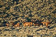 The rare Steamboat Mountain desert elk herd in the Red Desert of Wyoming