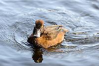 Norway, Stavanger. Female Tufted Duck in Mosvannet lake.