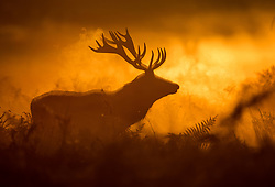 © Licensed to London News Pictures. 06/10/2017. London, UK. A stag is seen in first light in Bushy Park. A high of 15 centigrade is expected in parts of the south today. Photo credit: Peter Macdiarmid/LNP