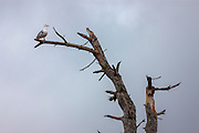 A western gull (Larus occidentalis) rests on a snag during a storm day at North Creek, Snohomish County, Washington.
