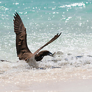 This is a brown booby (Sula leucogaster) grabbing a sardine from a group of fish that had swum into very shallow water.