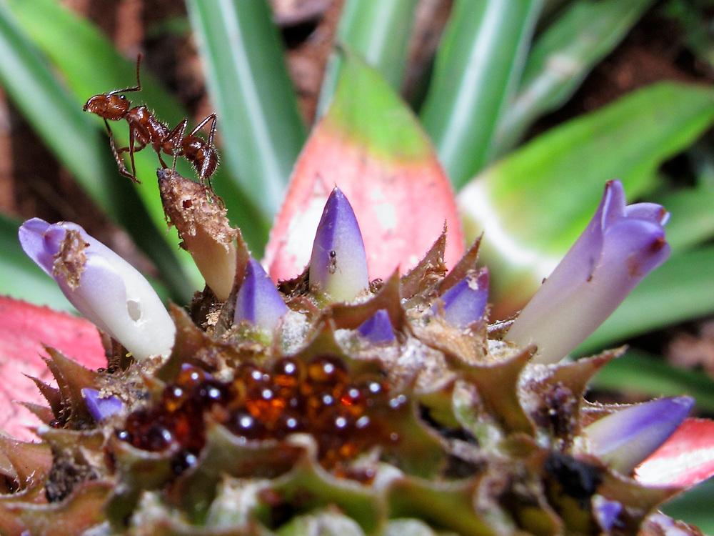 El jardín de las delicias / Panamá.<br /> <br /> Hormiga arriera y piña.