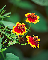 Plains Coreopsis. Image taken with a Leica SL2 camera and Sigma 100-400 mm lens