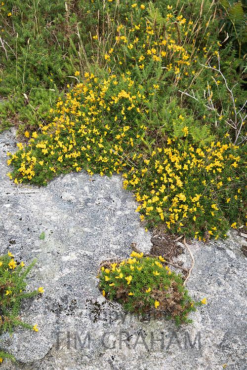 Bright yellow Gorse growing wild on rock on Dartmoor in Devon, UK