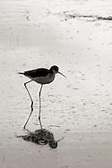 Small bird reflecting in pond - Riparian Preserve, Gilbert, AZ