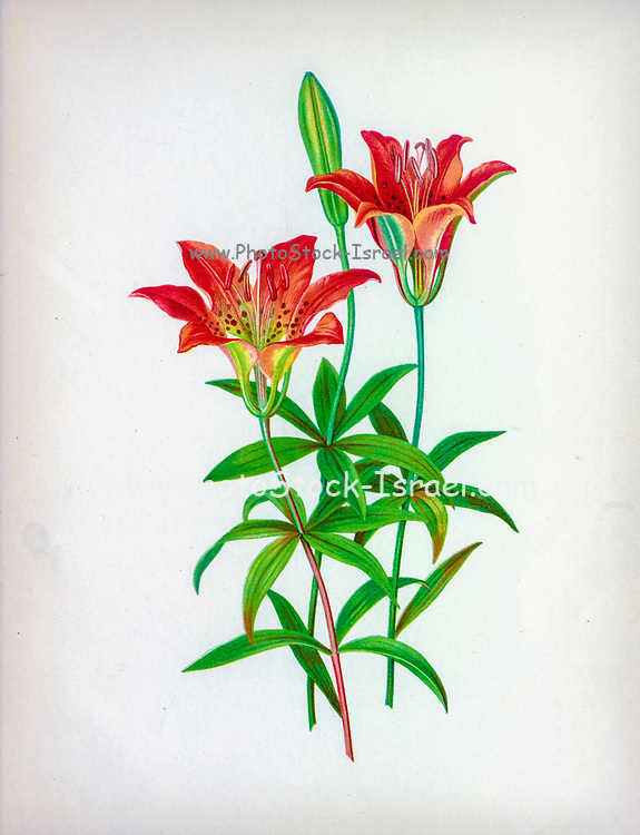 Wild Orange-Red Lily Lilium philadelphicum, also known as the wood lily, Philadelphia lily, prairie lily, or western red lily, is a perennial species of lily native to North America. from the book Beautiful wild flowers of America : from original water-color drawings after nature by  Isaac Sprague, 1811-1895 Published by Troy, Nims and Knights in New York in 1884 With Descriptive text by Rev. A. B. HERVEY