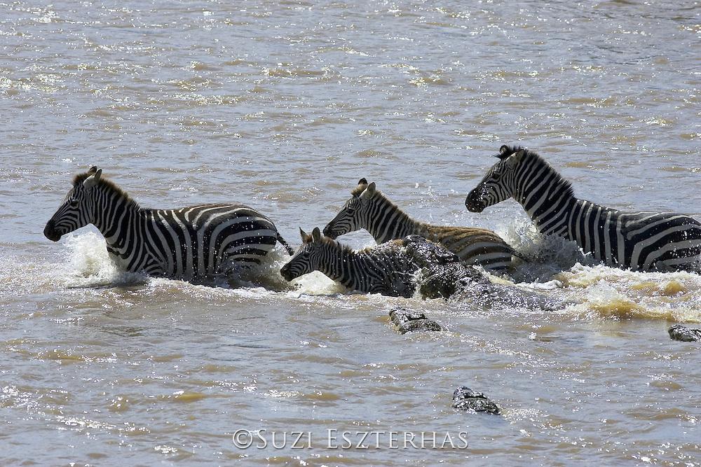 Nile Crocodile<br /> Crocodylus niloticus<br /> Hungry crocodile attacks zebra foal<br /> Maasai Mara Reserve, Kenya