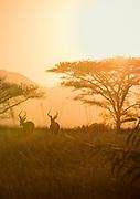 View of impala (Aepyceros melampu) family at sunset in savannah in Mlilwane Wildlife Sanctuary, Eswatini