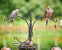 Red-bellied Woodpecker, Mourning Dove. Image taken with a Nikon D850 camera and 200 mm f/2 lens