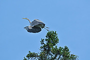 Great blue heron (Ardea herodias) flying from tree<br />Ear Falls<br />Ontario<br />Canada