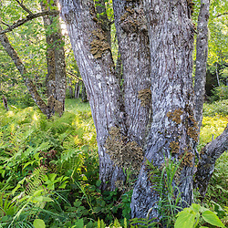 Lichen covered maple trees in a flood plain along Wytipitlock Stream in the Reed Plantation in Reed, Maine.